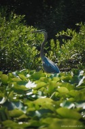Heron on Charles River, Waltham MA 7/2019