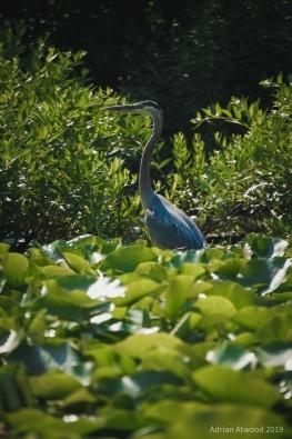 Heron on Charles River, Waltham MA 7/2019